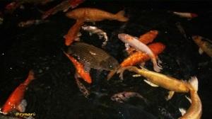 Kolam Ikan di Waroeng Bamboe