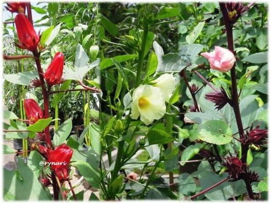 Rosela merah kuning ungu
