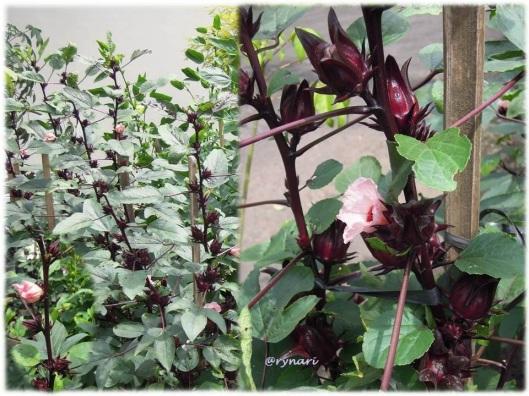 Rosela ungu