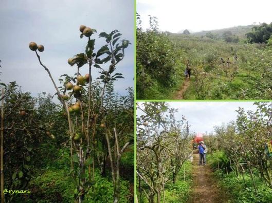 Wisata petil apel di Desa Punten