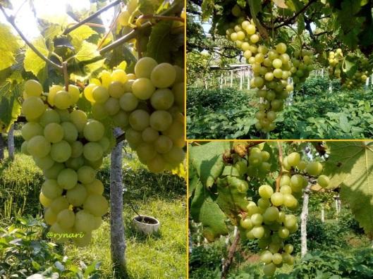 Anggur koleksi Balitjestro (pentil) foto oleh Lusia 120515