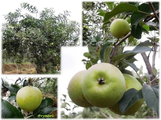 Apel Manalagi koleksi Balitjestro
