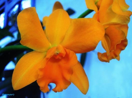 Kuning-Cattleya