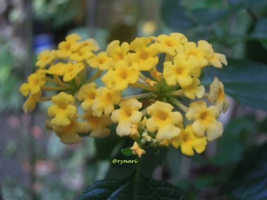 Kuning-lantana