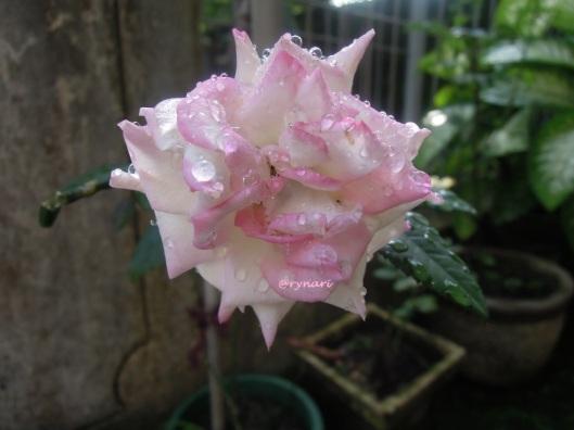 Mawar merah jambu