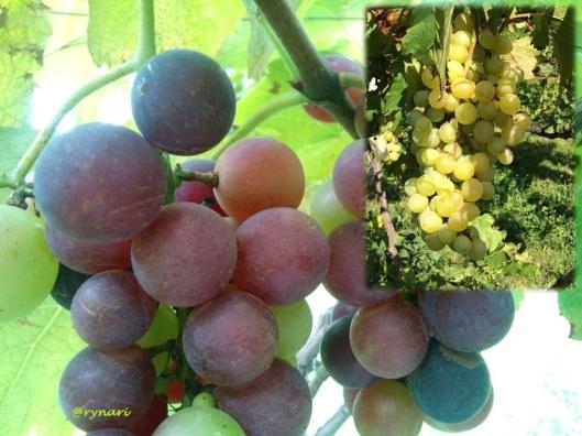 Panen anggur koleksi Balitjestro by Lusia 3 Juni 15