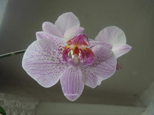 Ungu-phalaenopsis