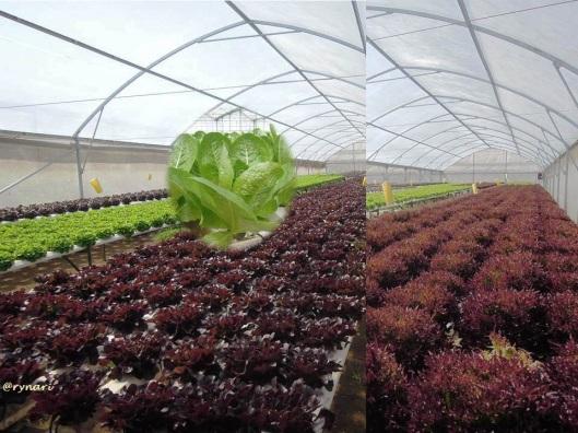 Amazing Farm 6a-sayuran ornamental