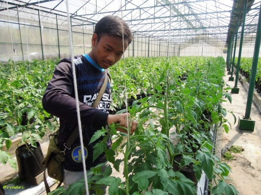 Amazing Farm 7a-teruna kebun belajar memelihara tomat