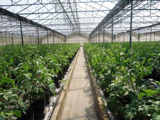 Amazing Farm 7b-hamparan tomat muda