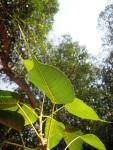 Daun tumbuhan bodhi, hati meruncing