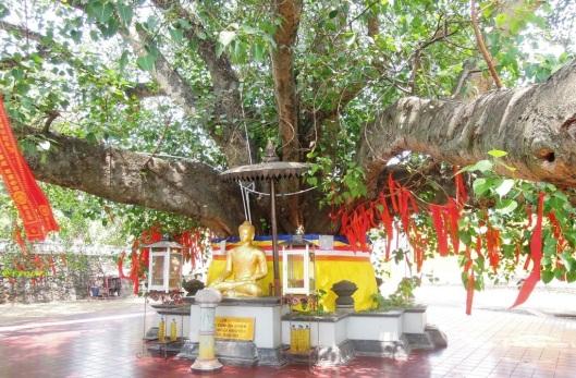 Percabangan bawah pohon bodhi di Vihara Watu Gong
