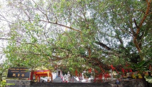 Pohon Bodhi di Vihara Watu Gong
