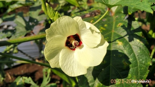 Bunga tanaman Okra