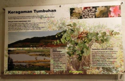1. Purwaceng tumbuhan endemik Dieng