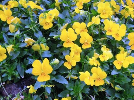 Viola kuning menyegarkan pejalan
