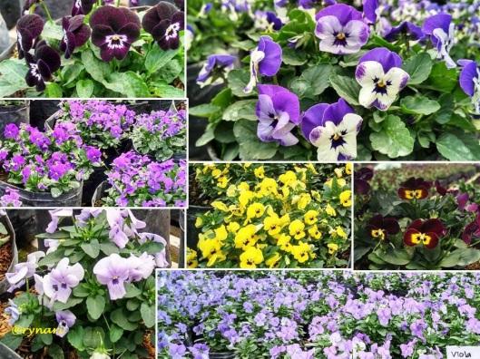 Viola warna-warni