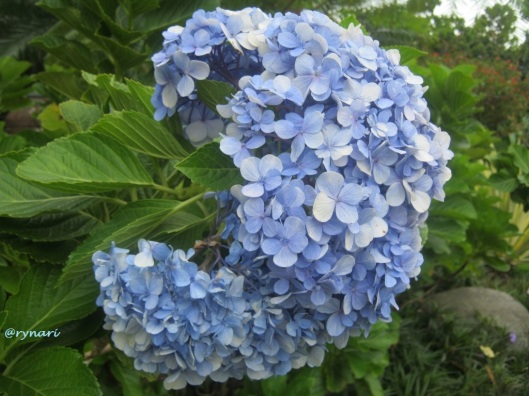 biru-bergerombol-hydrangia