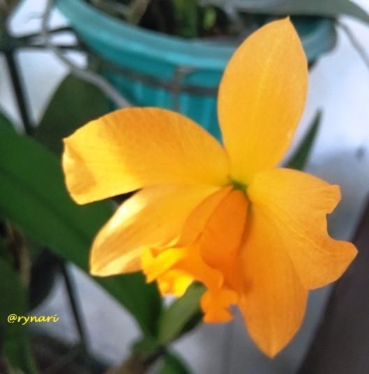cattleya-kuning