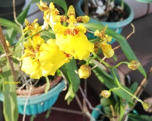 oncidium-kuning-berkembang