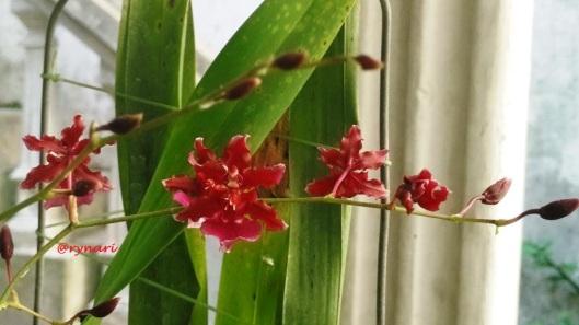 oncidium-merah