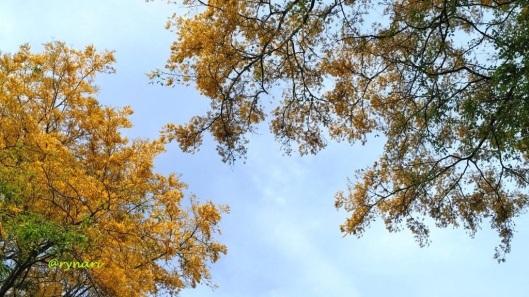 angsana-kuning-bersanding