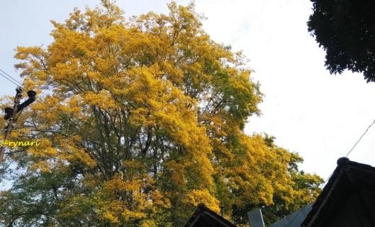 angsana-kuning-keemasan