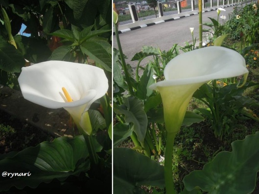 calla-lily-di-halaman-parkir-dieng