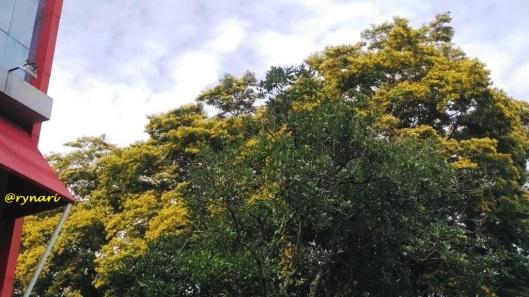 kuning-angsana