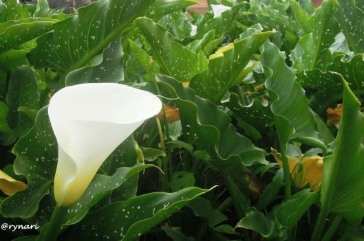 putih-calla-lily-dieng