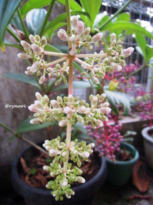 bunga-parijoto-dan-lebah