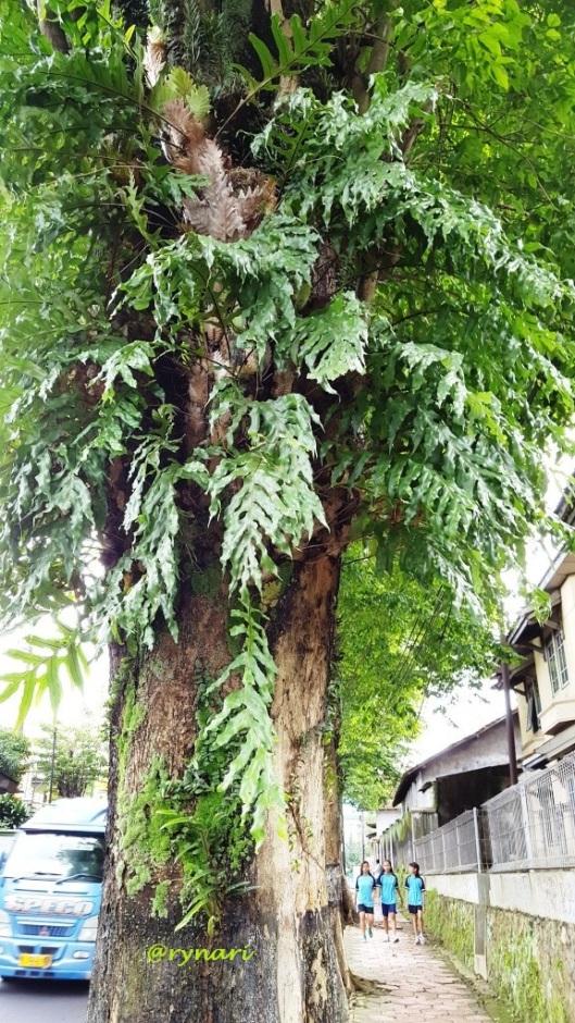 angsana-pemangku-ekosistem-tepian-jalan