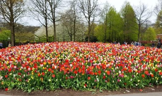Selamat datang di dunia kembang tulip
