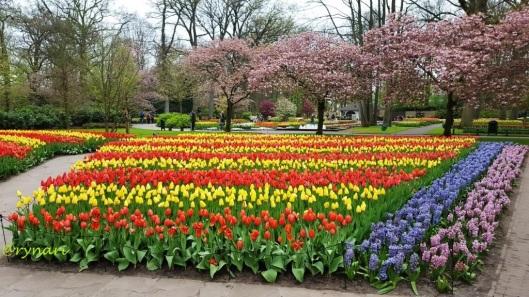 Taman Bendera tulip berlatar sakura