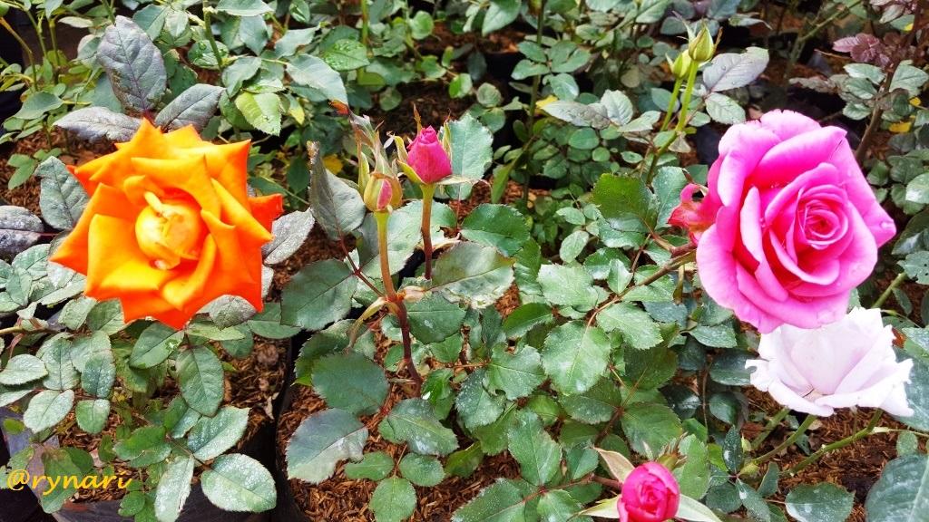 Berbunga-bunga di Cihideung  a96904a951