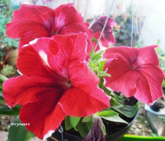 Membijikan Bunga Petunia Ala Emak Oma Kebun  f0b52c1a8b